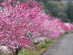 花桃の里1