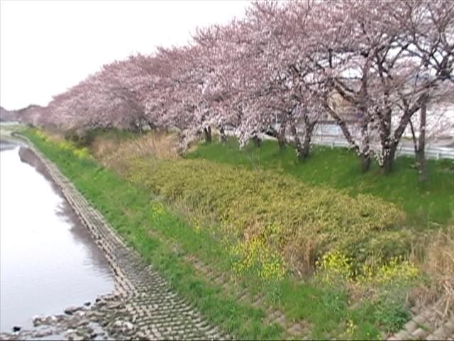 五条川の桜 1