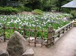 鶴舞公園の花しょうぶ1.jpg