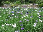 鶴舞公園の花しょうぶ3.jpg