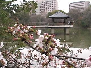 竜ヶ池の桜070327.jpg