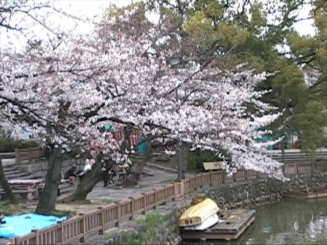 五分咲きか?!鶴舞公園竜ヶ池1