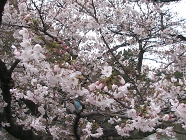 五分咲きか?!鶴舞公園竜ヶ池2