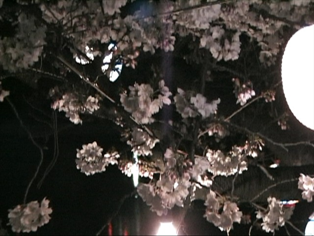 竜ヶ池の夜桜(3)